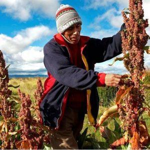 culture quinoa real perou1
