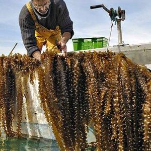 Grossiste algues atlantique vrac
