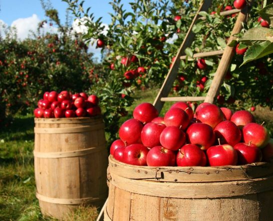 Culture de pommes vergers fruits bio - GReenVrac